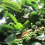 Mengenal Kampung Cibulao, Penghasil Kopi Robusta dan Arabica Dari Bogor